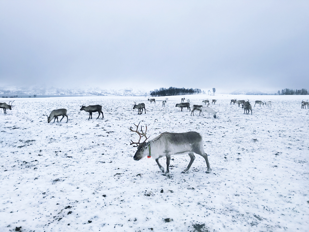 hazalishere_wordpress_arctic_reindeer.jpg