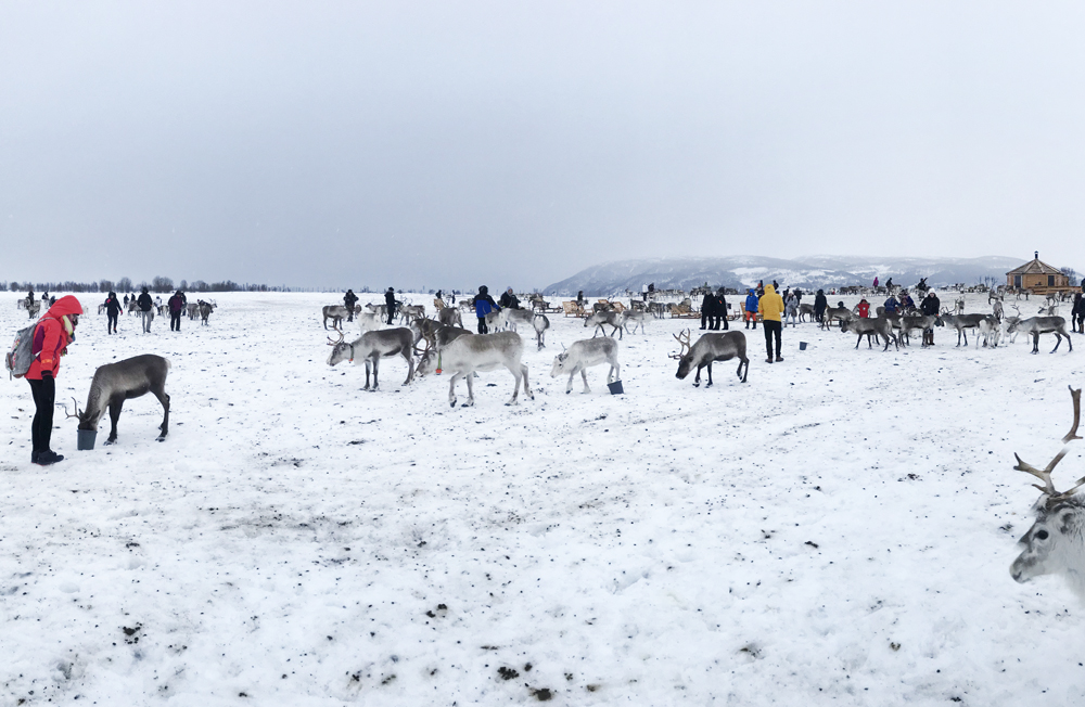 hazalishere_wordpress_arctic_reindeer_experience_feeding